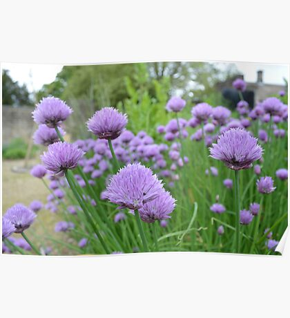 A PLETHORA OF CHIVES IN A HERB GARDEN Poster