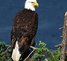 Proud Bald Eagle with White Tail by naturediver