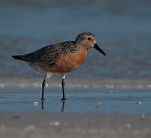 Redknot Migrating Through Fort DeSoto by Joe Jennelle