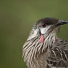 Red wattlebird closeup by Casey Argall