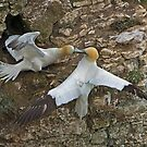 Gannet fight. by MikeSquires