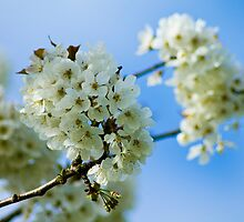 White Spring Blossom by rubyrainbow