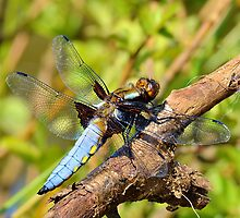 Male Chaser Dragonfly by relayer51