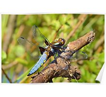 Male Chaser Dragonfly Poster