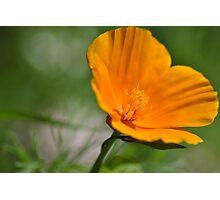 Californian Poppy  Photographic Print