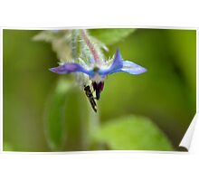 Hoverfly on a Borage Flower Poster
