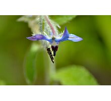 Hoverfly on a Borage Flower Photographic Print