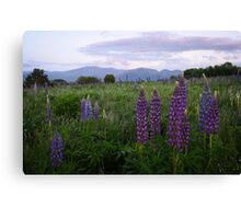White Mountains - Lupine Season Canvas Print