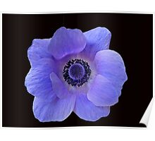 Dreamy Blue Anemone On Black Background Poster