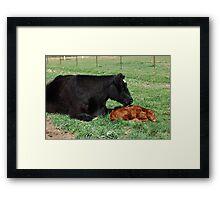 First Bath ~  Holly and her newly born calf Framed Print
