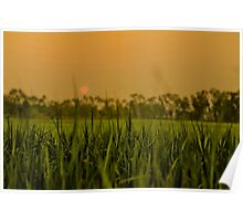 Sunset over the rice paddy Poster