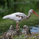 Juvenile White Ibis by Dennis Cheeseman