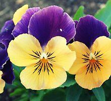 Orange and Violet Violas by Melissa Park