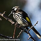 The New holland Honeyeater by Rick Playle