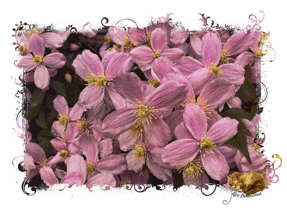 Clematis by © Kira Bodensted