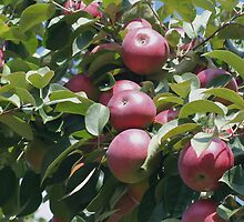 Red McIntosh Apples On The Tree by SmilinEyes