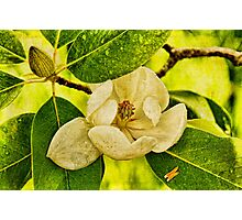 Sweet Bay Magnolia After The Rain Photographic Print