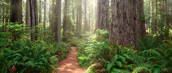 Redwoods Magic by Michael Breitung