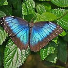 Blue Morpho by Linda Long