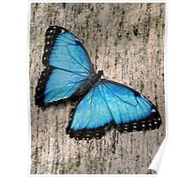 Blue Morpho on Granite Poster