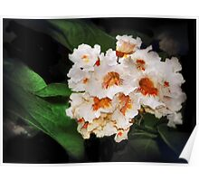 Catalpa Blossoms Poster