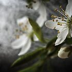 Close up of white flowers by Cara Barron