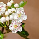 Hawthorn Blossom by M.S. Photography/Art