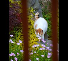 Felis Catus - White And Orange Domestic Stray Cat In A Hidden Garden - Middle Island, New York by © Sophie Smith