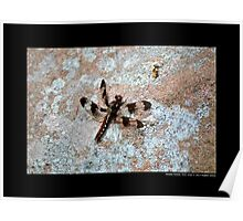 Plathemis Lydia - Common Whitetail Dragonfly - Middle Island, New York  Poster