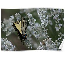 Yellow Monarch on White Lavender Poster