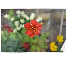 GEUM IN A GARDEN (MEMBER OF THE STRAWBERRY PLANT) Poster