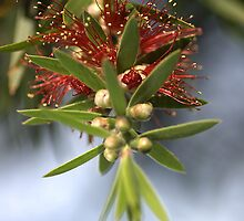 Bottlebrush of Nature by Joy Watson
