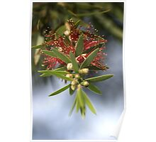 Bottlebrush of Nature Poster