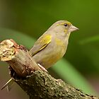 Female greenfinch by Peter Wiggerman