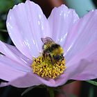 Bumble Bee and Cosmos by AnnDixon