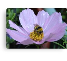 Bumble Bee and Cosmos Canvas Print
