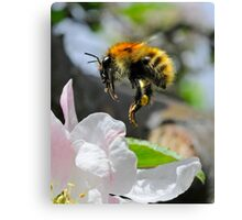 Pollinating Bumblebee Canvas Print