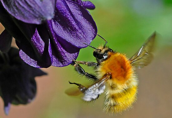 A Bumblebee (Moss Carder bee (Bombus (Thoracombus) muscorum) by George Crawford