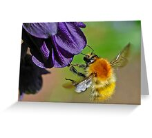 A Bumblebee (Moss Carder bee (Bombus (Thoracombus) muscorum) Greeting Card
