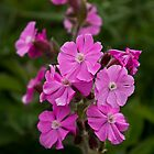 Red Campion by rubyrainbow