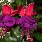 Fuchsia by Penny Rinker