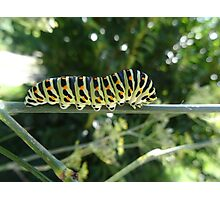 Swallowtail caterpillar ready to change to a chrysalid Photographic Print