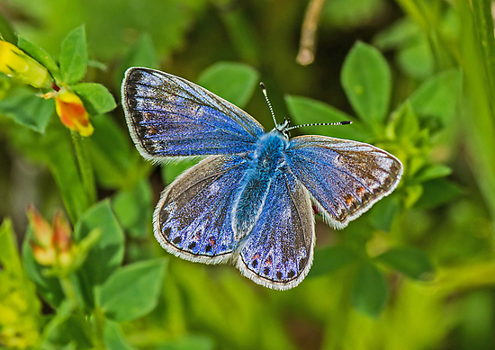 Female Common Blue Butterfly by MikeSquires