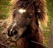 Shetland Pony With Attitude by ArtofOrdinary