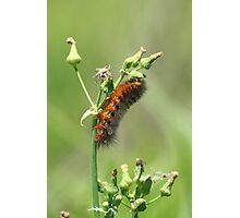 Fat Caterpillar Photographic Print