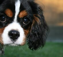 """Cavalier King Charles Puppy """"Abby"""" by cazzgroves"""