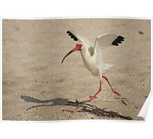 Ibis Walking Poster