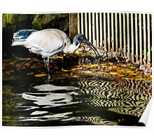 Ibis feeding in reflections on the water. Poster