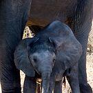 The Little One - Chobe NP Botswana by Beth  Wode