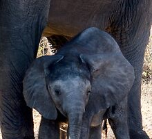 The Little One - Chobe NP Botswana by Beth  Wode
